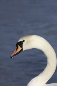 photo of swan's head
